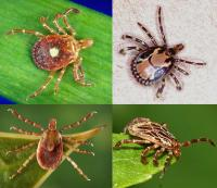 Amblyomma ticks
