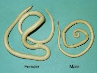 Ascaris Lumbricoides female and male