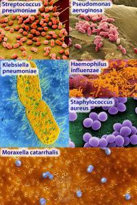 Bacteria causing pneumonia