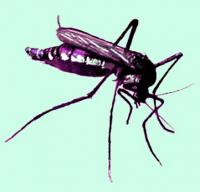 Haemagogus mosquito