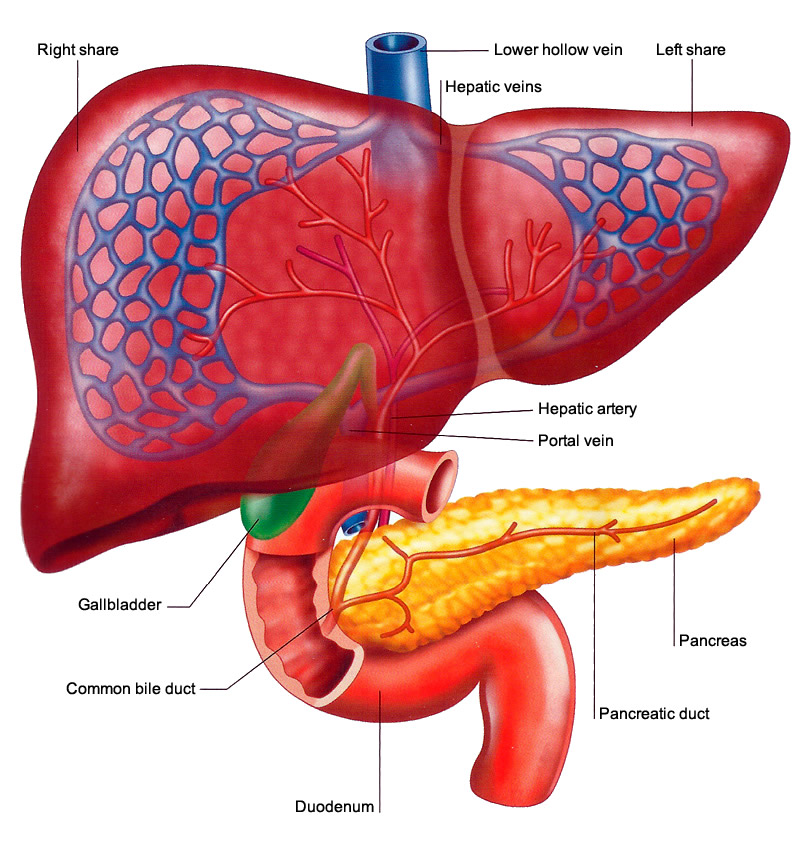 Main Functions Of Liver
