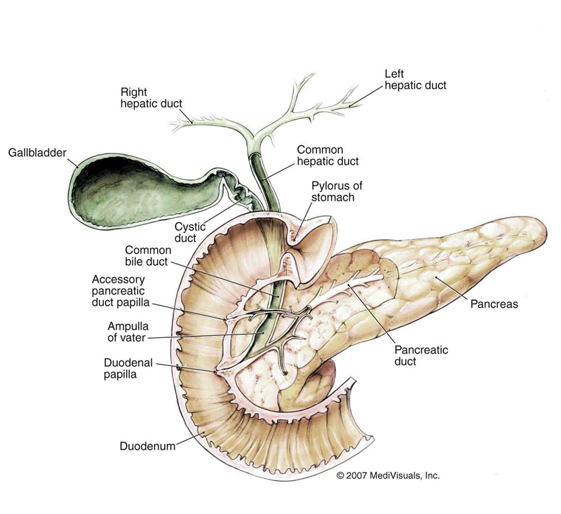 Pancreas Function And Location Location of The Pancreas