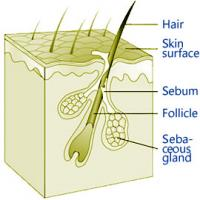 Pilo-sebaceous unit