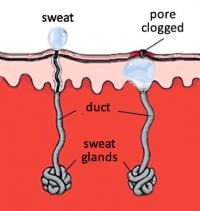 Sweat glands